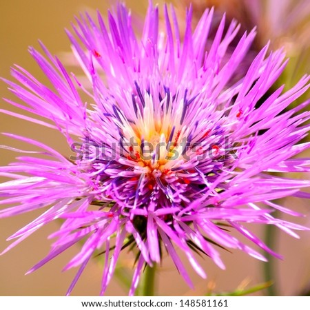 Splendid multicolor flower of wild thistle with a colony of red spiders parasitic - stock photo