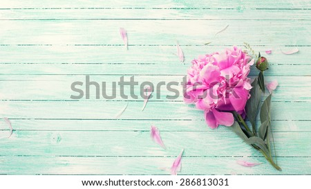 Splendid pink   peony flower on turquoise painted wooden planks. Selective focus. Place for text. Toned image. - stock photo