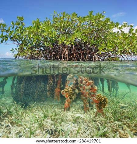 Split image half above and underwater of a red mangrove tree with foliage and branches over water and roots with marine life below the surface, Caribbean sea - stock photo