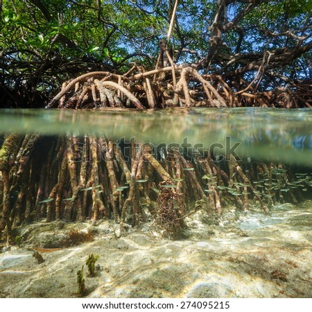 Split view of mangrove tree over and under the water surface, Caribbean sea - stock photo