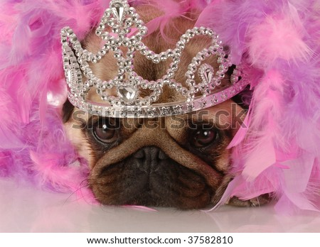 spoiled dog - adorable pug dressed up as a princess - stock photo