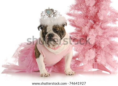 spoiled dog - english bulldog dressed like a princess in pink with tiara on white background