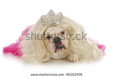 spoiled dog - english bulldog wearing wig and tiara on white background - stock photo