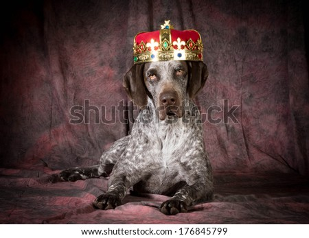 spoiled dog - german shorthaired pointer wearing a crown on purple background - stock photo
