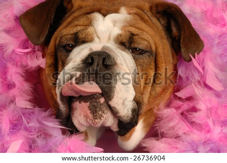 spoiled english bulldog giving some attitude surrounded by pink feathers - stock photo