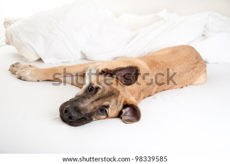 Spoiled Young Great Dane Puppy Sleeping on Owner's Bed - stock photo