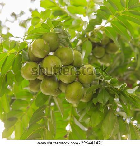 Spondias pinnata (L.f.) Kurz. Anarcardiaceae.Hog Plum,  - stock photo