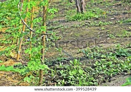 sponge gourd in soil, agriculture, edible plant, backyard bed, home-grown vegetable, organic farm - stock photo