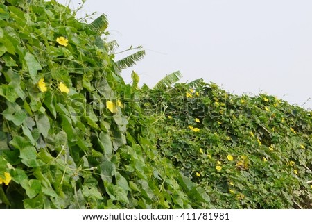 Sponge Gourd on plants . - stock photo