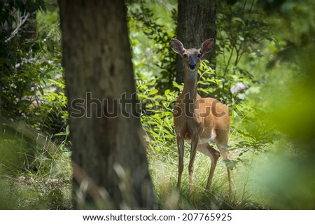 Spooked white tale deer in a forested area.