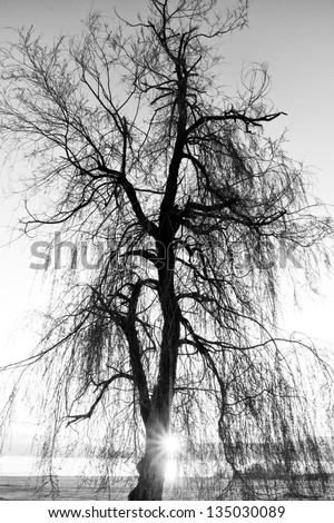 spooky abstract black and white tree silhouette in sunrise time - stock photo