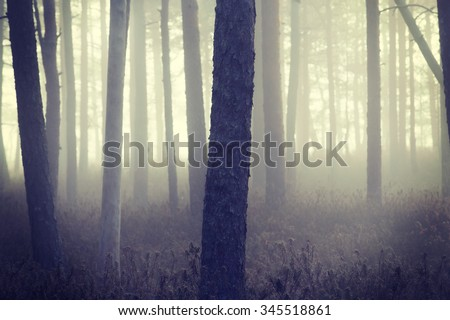 Spooky forest. An image of of a pine forest on a very foggy morning in Finland.  The fog covers the whole forest scene. Image also has a vintage effect applied.
