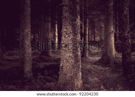 Spooky forest with conifers in sepia - stock photo