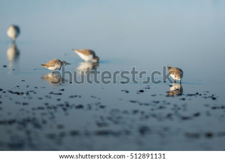 Spoon-billed Sandpiper and shorebirds at the Inner Gulf of Thailand.Very rare and critically endangered species of the world,walking and foraging in water with morning light