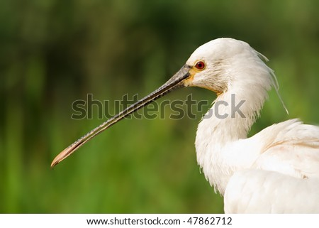 Spoonbill portrait with blurred green background - stock photo