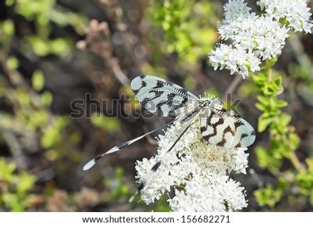 Spoonwing lacewing (Nemoptera sinuata) taken at Kayakoy in Turkey - stock photo