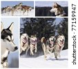 Sportive dogs are running in the snow, mountain in winter - stock photo