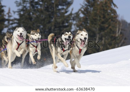 sportive dogs in the snow - stock photo