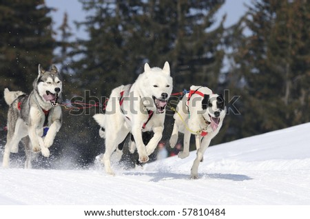 sportive dogs running in the snow - stock photo