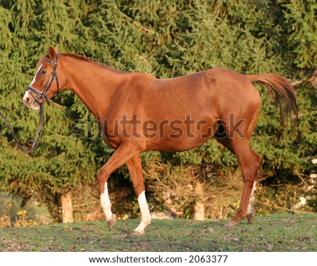 sports horse on the meadow under afternoon light