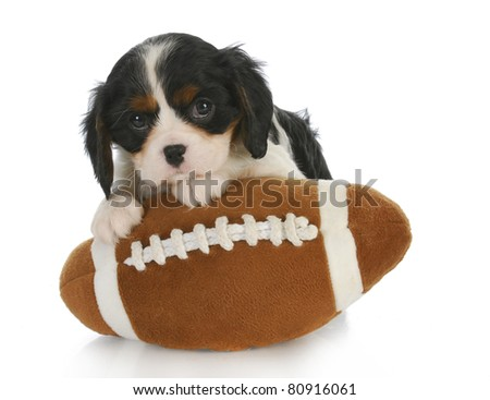 sports hound - adorable cavalier king charles spaniel sitting on stuffed football - 6 weeks old - stock photo