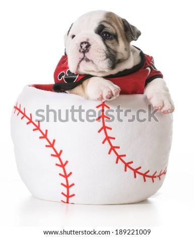 sports hound - bulldog puppy inside a baseball - stock photo