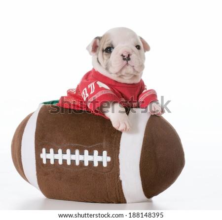 sports hound - bulldog puppy inside a football - stock photo