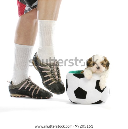sports hound - cute puppy sitting in soccer ball with soccer player - shih tzu - stock photo