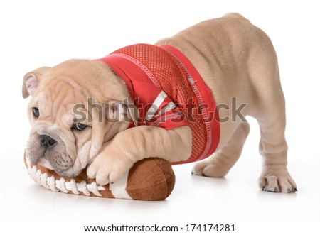 sports hound - english bulldog puppy laying on stuffed football isolated on white background - 9 weeks old - stock photo