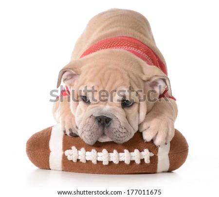 sports hound - english bulldog puppy laying on stuffed football isolated on white background - 9 weeks old - stock photo