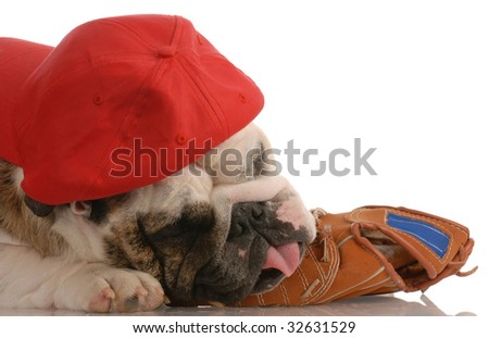 sports hound - english bulldog wearing hat and resting on baseball glove