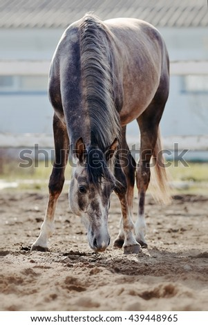 Sports thoroughbred horse walks in the paddock