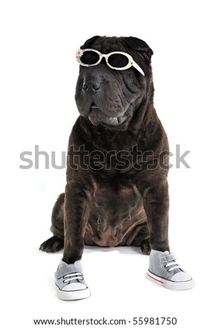Sporty casual Shar-pei in glasses and shoes - stock photo