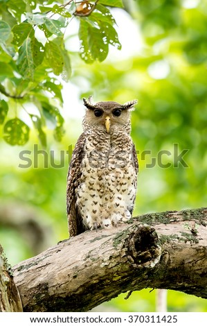 Spot Bellied Eagle Owl - stock photo