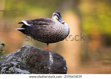 Spot Billed Duck, Anas poecilorhyncha in Japan - stock photo