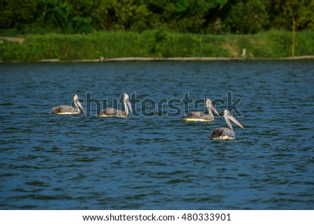 Spot-billed Pelican are swimming in the pond.