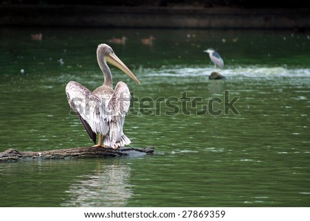 Spot-billed Pelican in the lake - stock photo