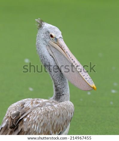 Spot-billed Pelican (Pelecanus philippensis) - stock photo