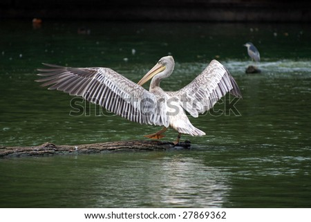 Spot-billed Pelican - spreading wings