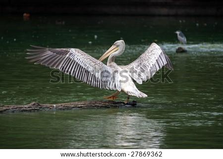 Spot-billed Pelican - spreading wings - stock photo