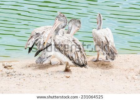 Spot-billed pelicans (Pelecanus philippensis) - stock photo