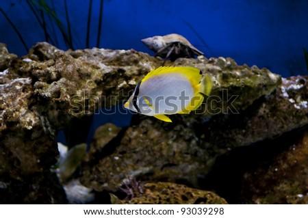 Spot fin butterfly fish in Tampa aquarium - stock photo