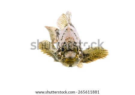 Spotbelly Rockfish-Sebastes pachycephalus, on white background.