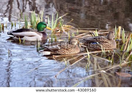 spotbill duck - stock photo
