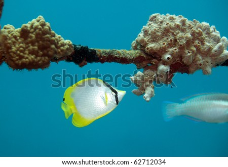 Spotfin Butterflyfish feeding on coral on underwater shipwreck - stock photo