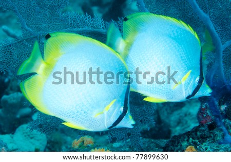 Spotfin Butterflyfish picture taken in south east Florida. - stock photo