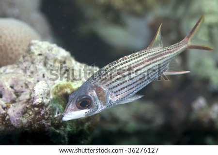 spotfin squirrelfish - stock photo