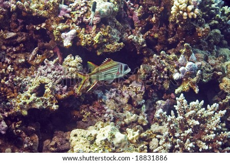 spotfin squirrelfish (neoniphon sammara) - stock photo