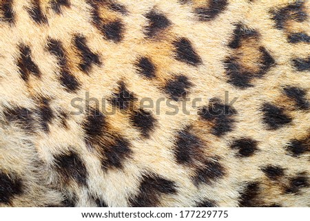 spots on real leopard fur, beautiful natural animal texture - stock photo