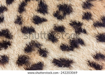 Spots on real leopard skin - stock photo